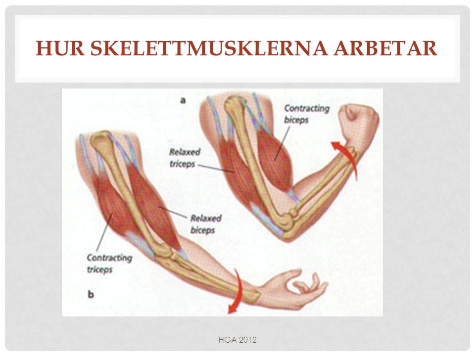 Hur skelettmusklerna arbetar