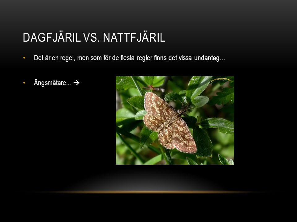Dagfjäril vs. Nattfjäril