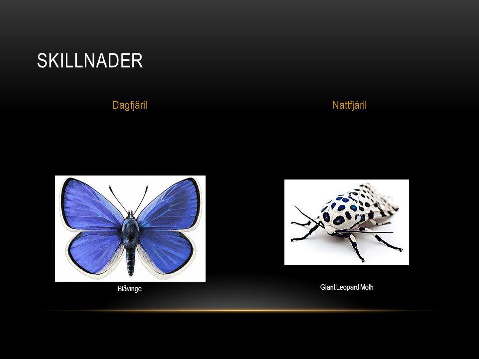 Skillnader Dagfjäril Nattfjäril Blåvinge Giant Leopard Moth