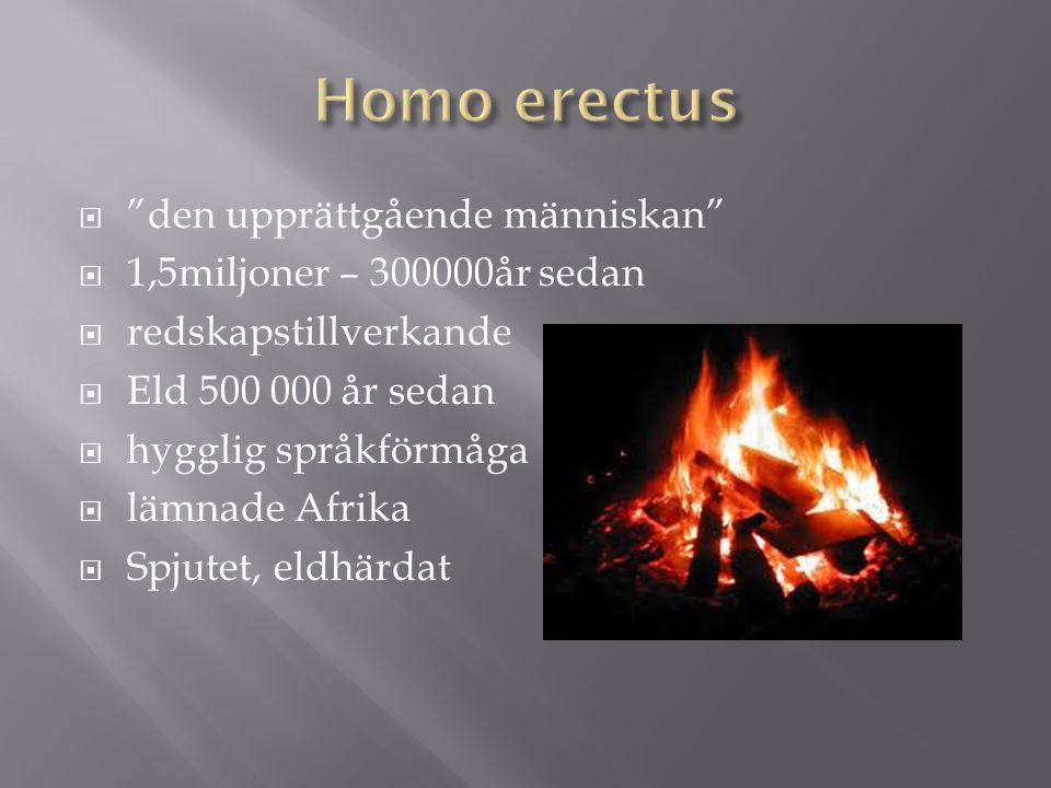 Homo erectus den upprättgående människan