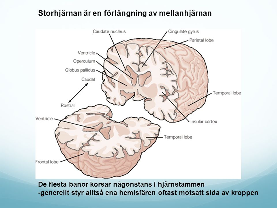 Storhjärnan är en förlängning av mellanhjärnan
