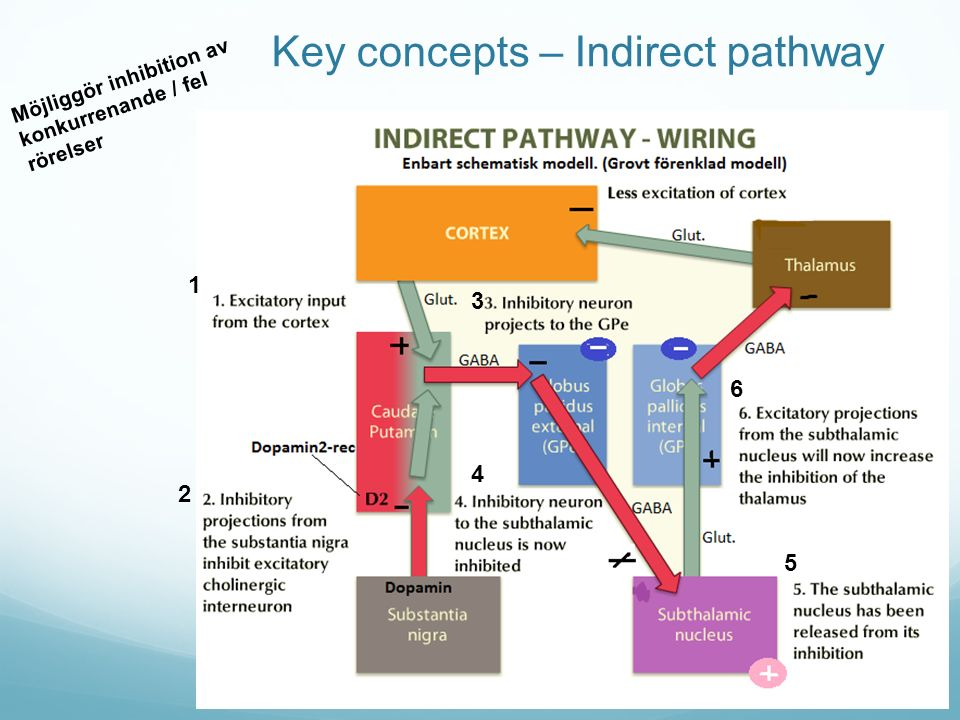 Key concepts – Indirect pathway