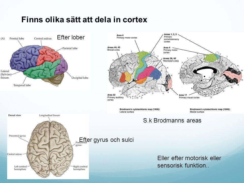 Finns olika sätt att dela in cortex