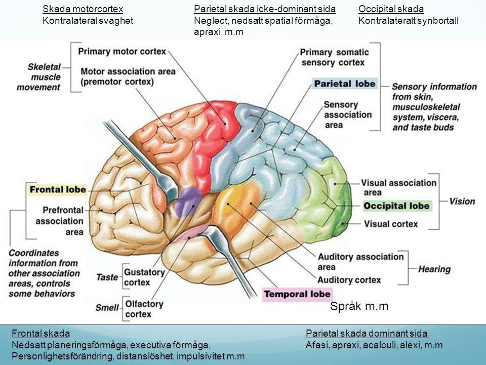 Språk m.m Skada motorcortex Kontralateral svaghet