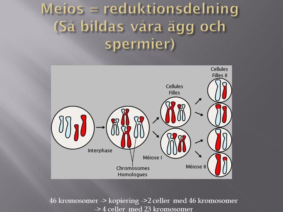 Meios = reduktionsdelning (Så bildas våra ägg och spermier)