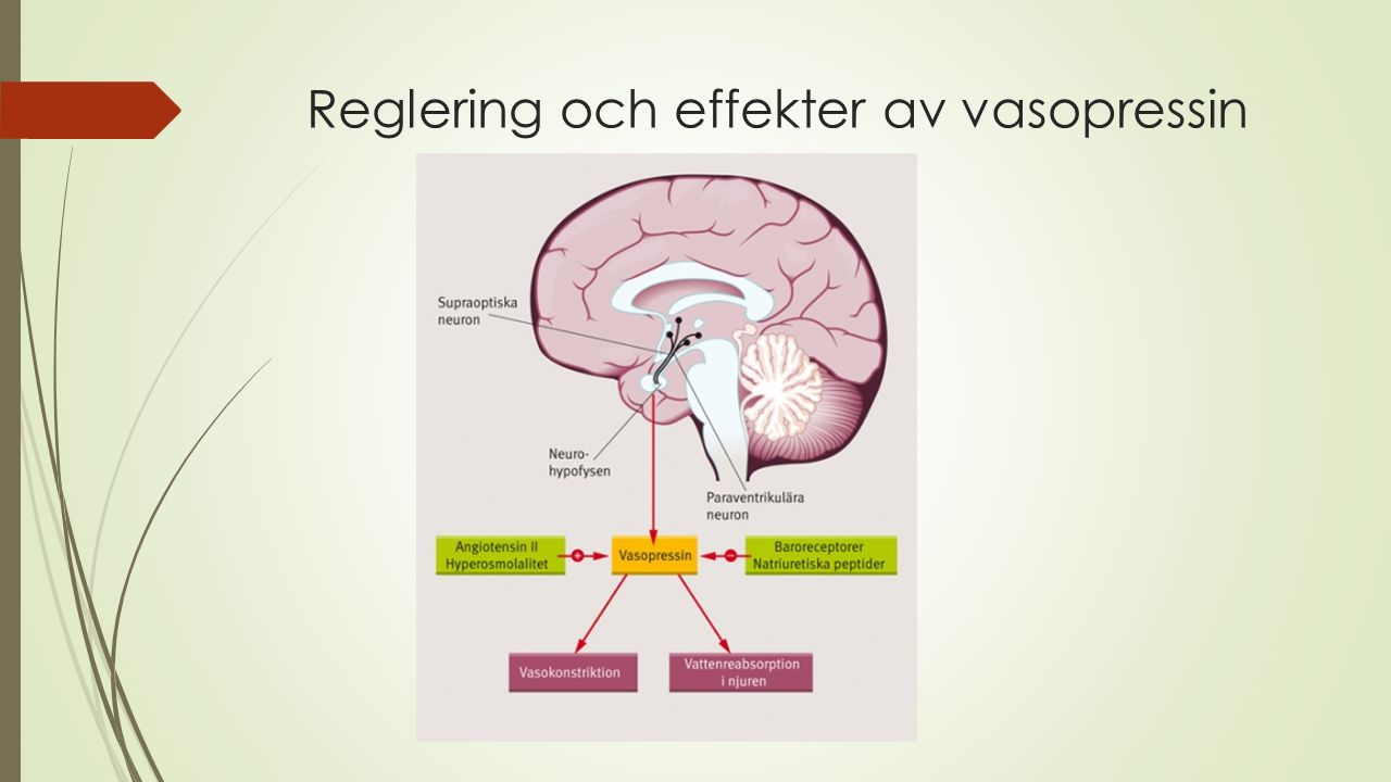 Reglering och effekter av vasopressin