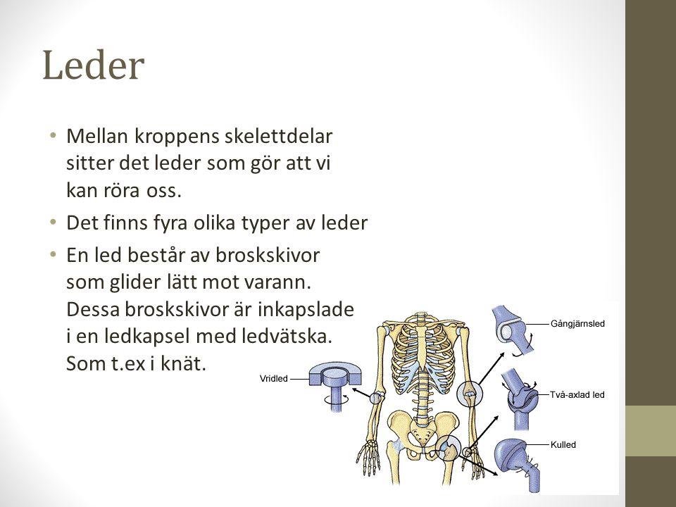 Leder Mellan kroppens skelettdelar sitter det leder som gör att vi kan röra oss. Det finns fyra olika typer av leder.
