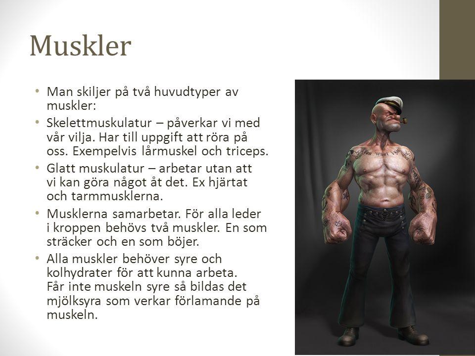 Muskler Man skiljer på två huvudtyper av muskler: