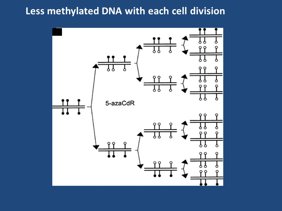 Less methylated DNA with each cell division