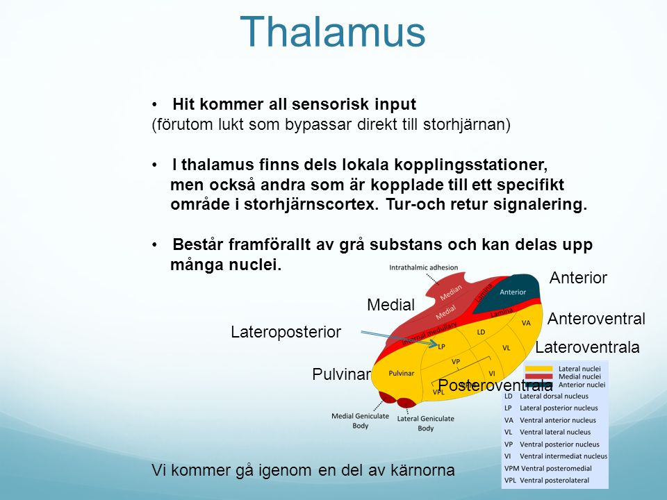 Thalamus Hit kommer all sensorisk input
