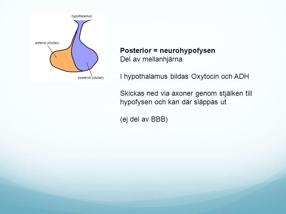 Posterior = neurohypofysen