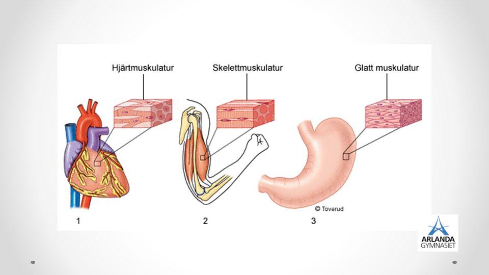 Funktion Möjliggör rörelse Stadga åt skelett Skyddd åt inre organ