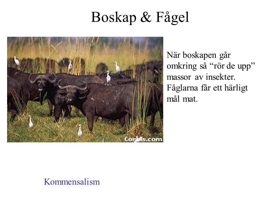 Boskap & Fågel När boskapen går omkring så rör de upp massor av insekter. Fåglarna får ett härligt mål mat.