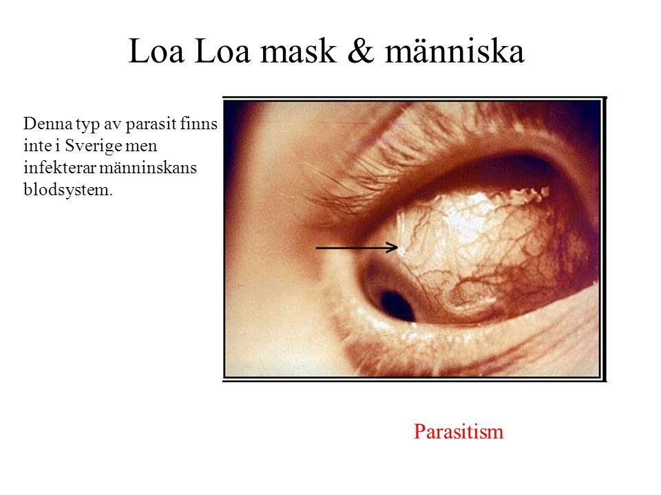Loa Loa mask & människa Parasitism