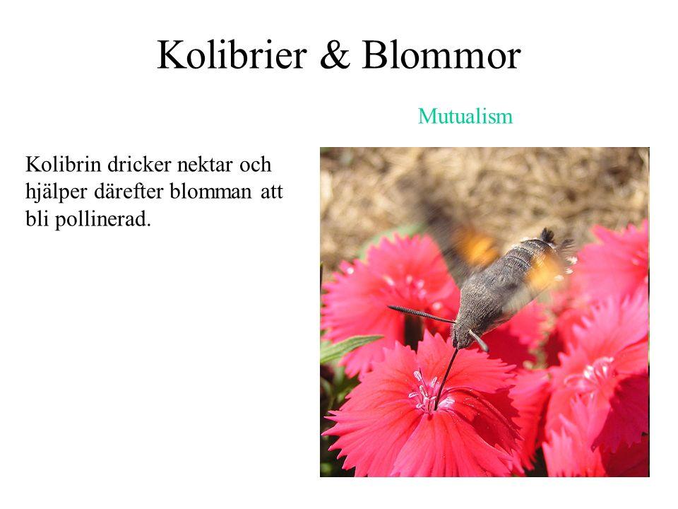 Kolibrier & Blommor Mutualism