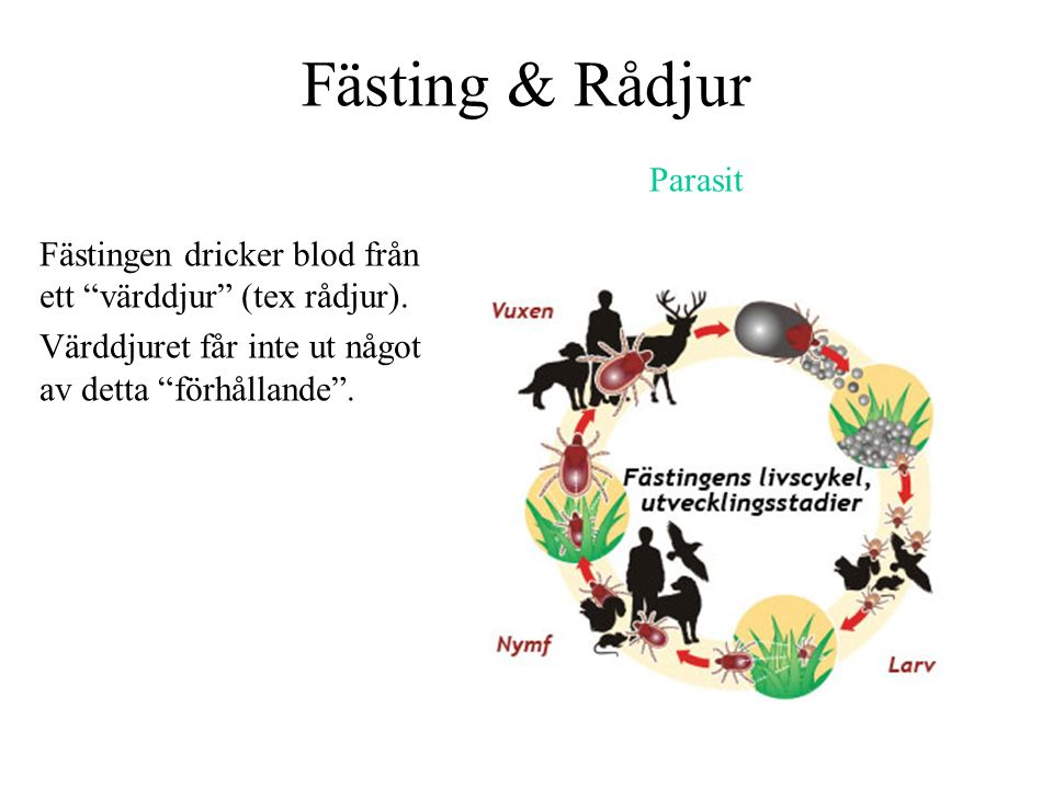 Fästing & Rådjur Parasit