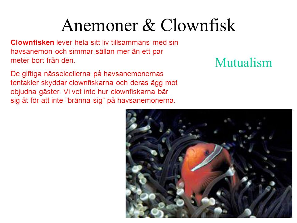 Anemoner & Clownfisk Mutualism