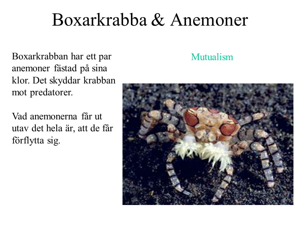 Boxarkrabba & Anemoner