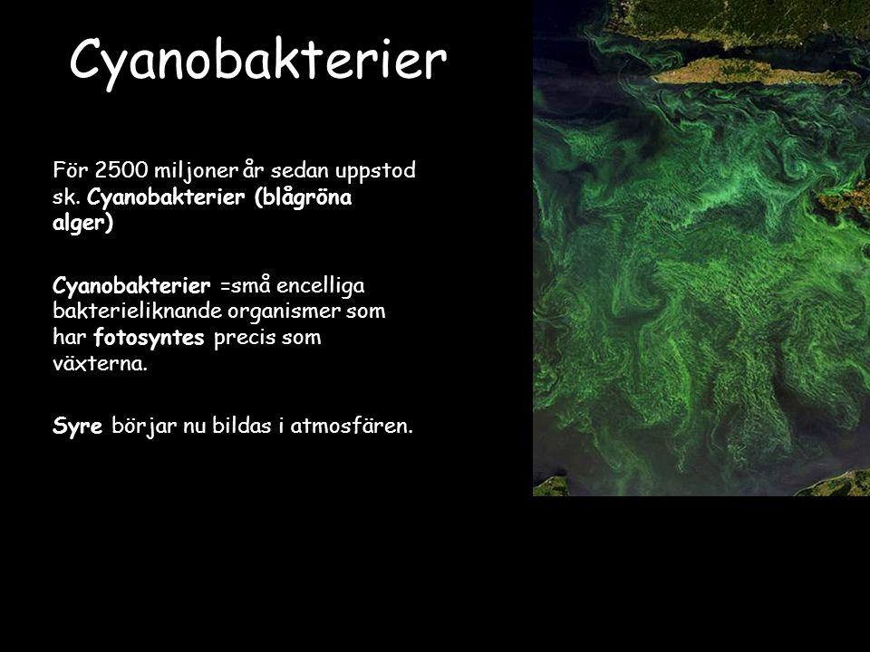 Cyanobakterier För 2500 miljoner år sedan uppstod sk. Cyanobakterier (blågröna alger)