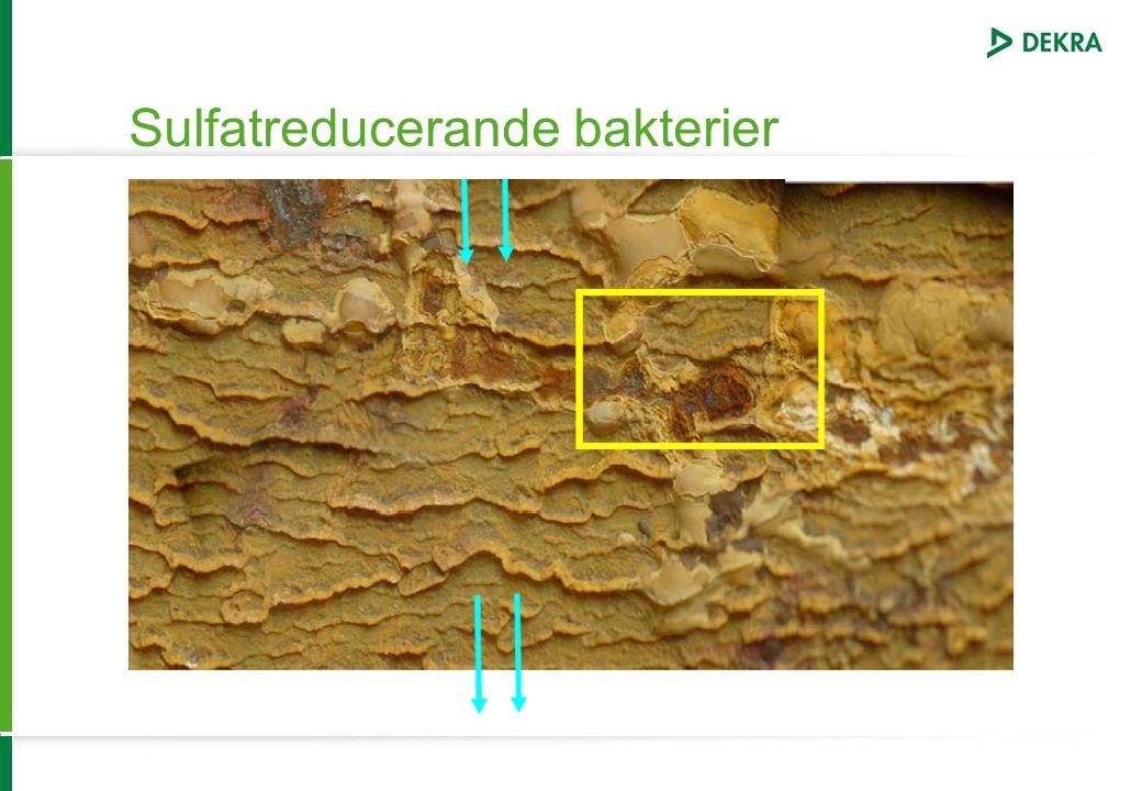 Sulfatreducerande bakterier