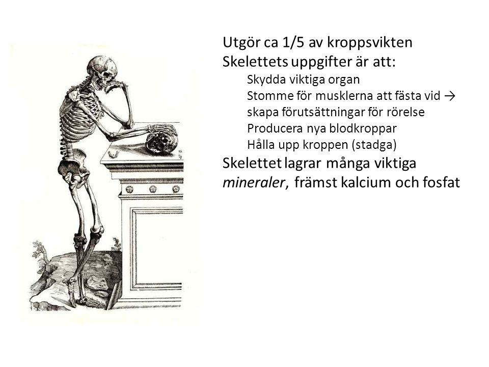 Utgör ca 1/5 av kroppsvikten Skelettets uppgifter är att: