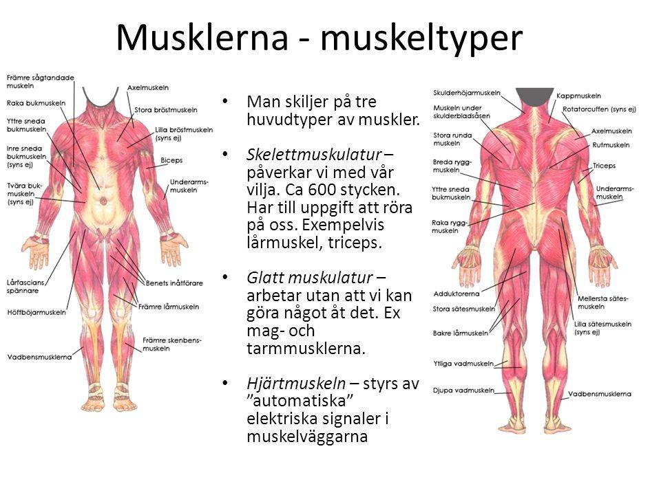 Musklerna - muskeltyper