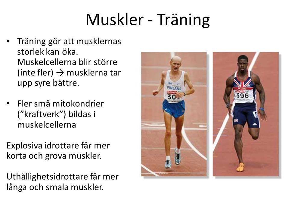 Muskler - Träning Träning gör att musklernas storlek kan öka. Muskelcellerna blir större (inte fler) → musklerna tar upp syre bättre.