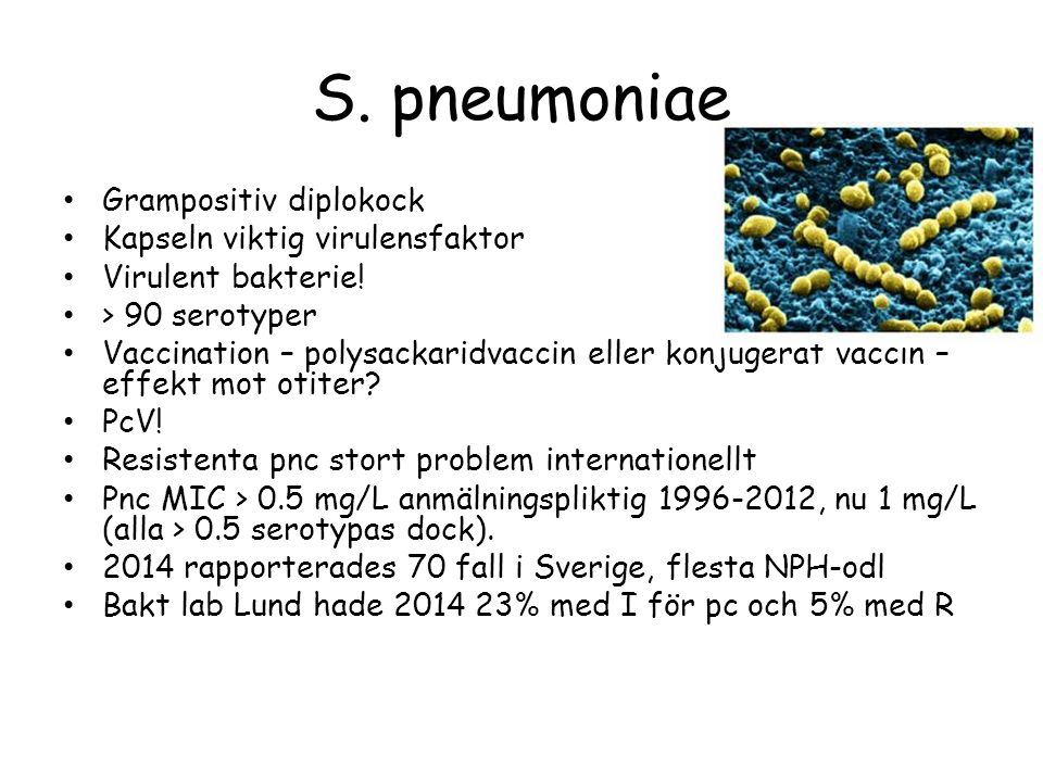 S. pneumoniae Grampositiv diplokock Kapseln viktig virulensfaktor