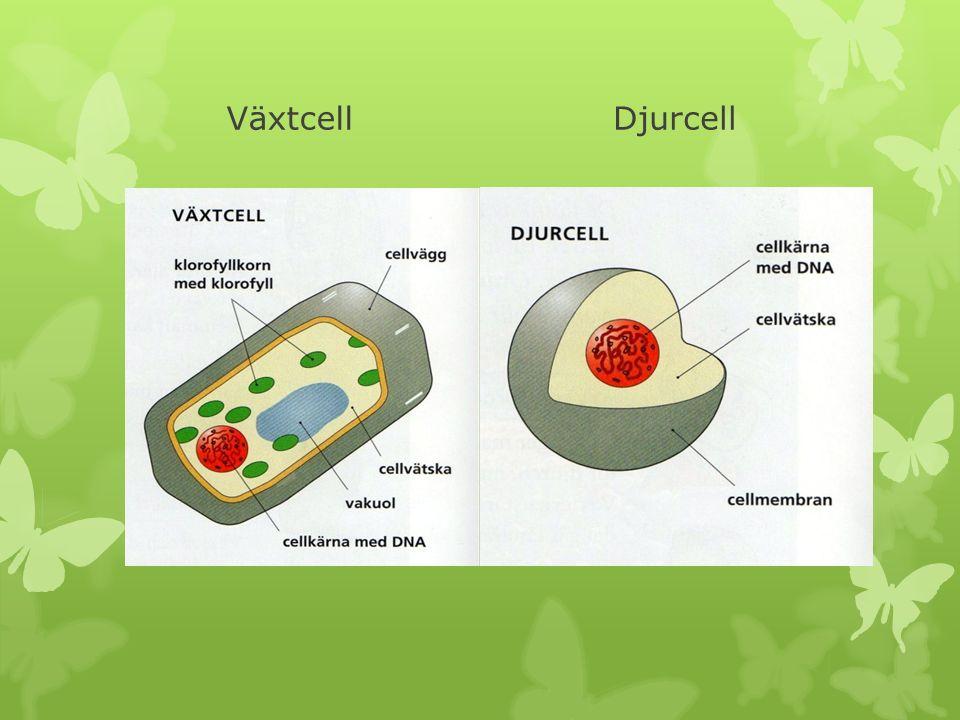 Växtcell Djurcell