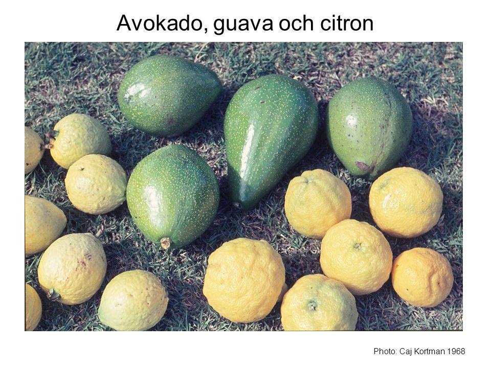 Avokado, guava och citron