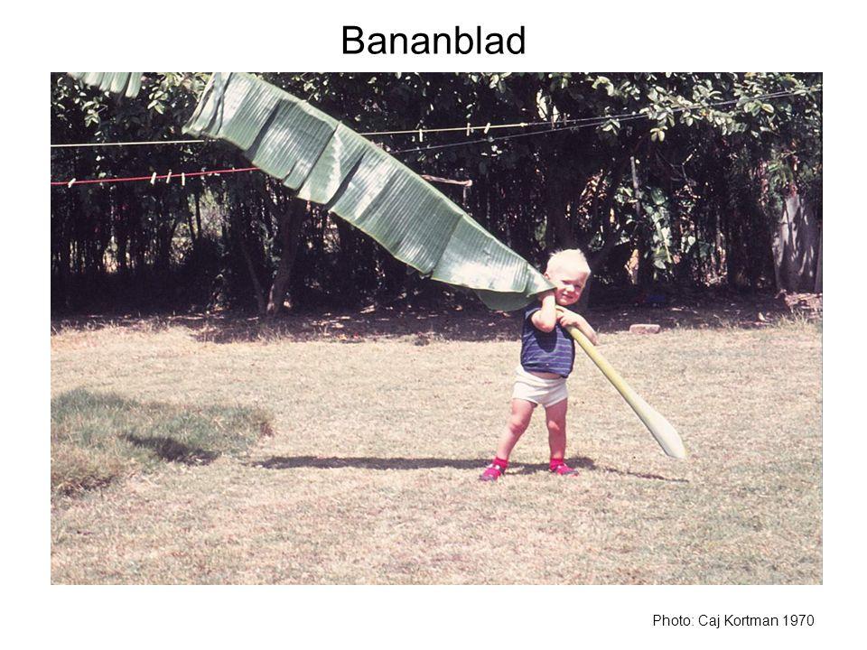Bananblad Bananplantans blad kan bli flera meter långa.