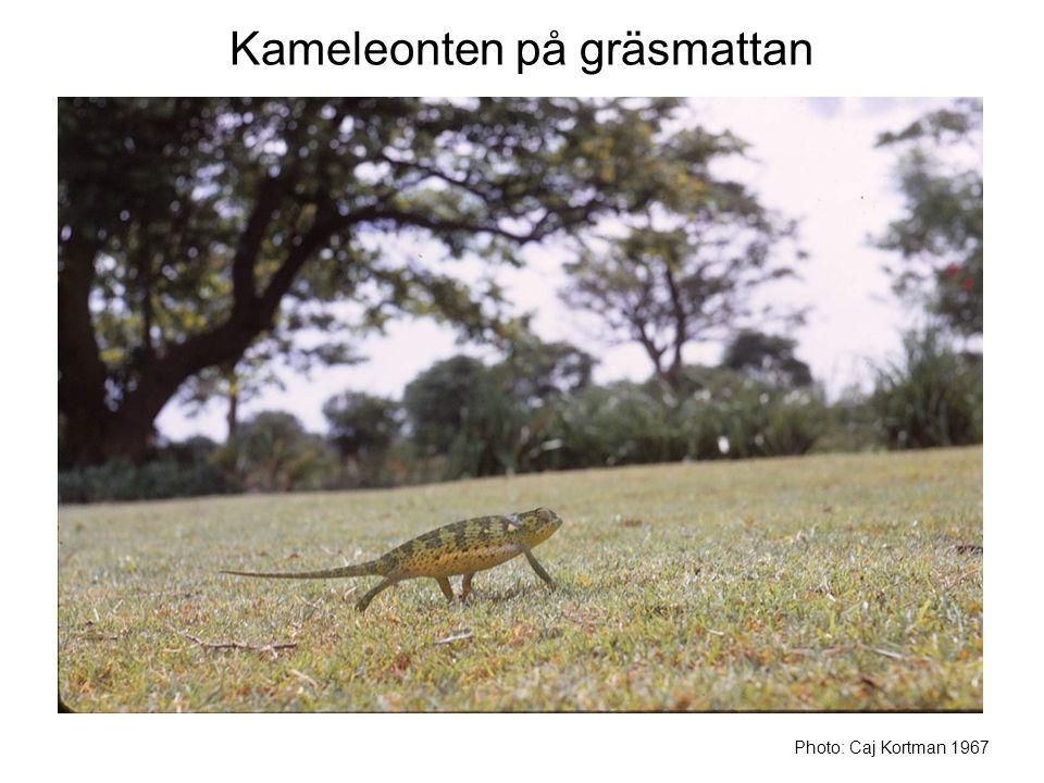 Kameleonten på gräsmattan
