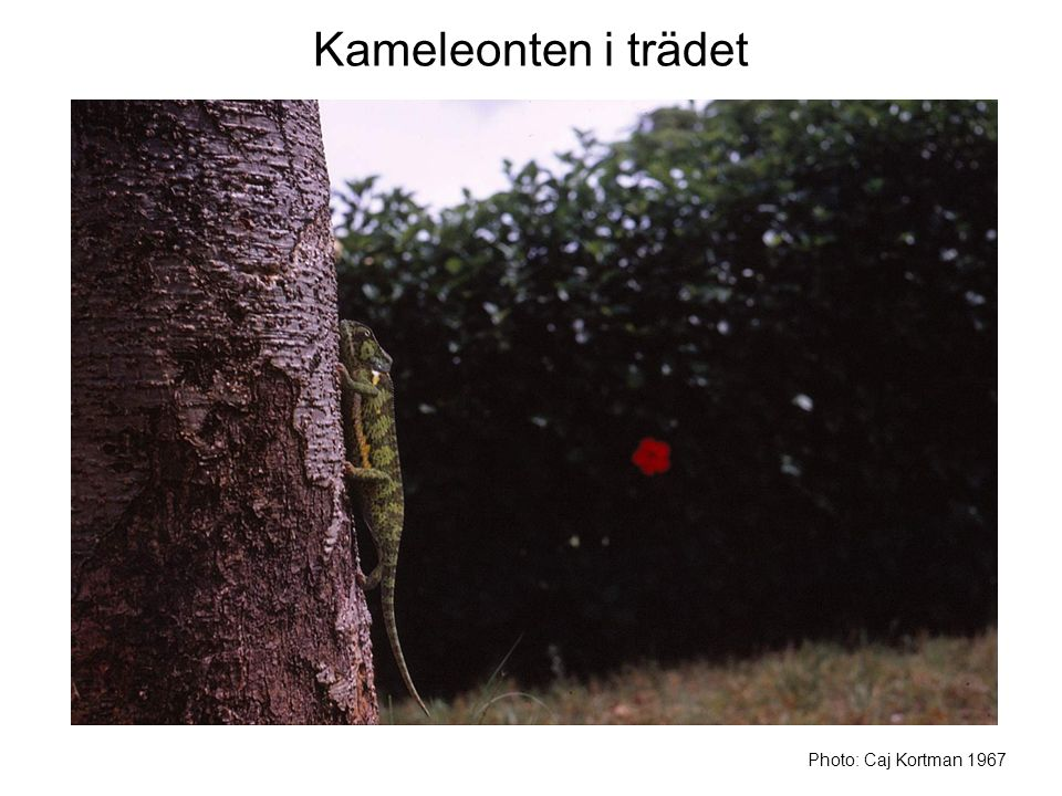 Kameleonten i trädet Photo: Caj Kortman 1967