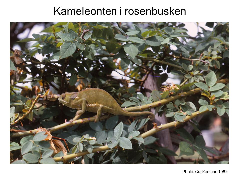 Kameleonten i rosenbusken