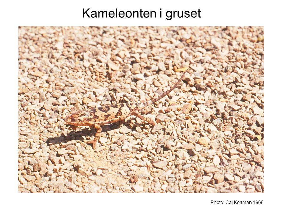 Kameleonten i gruset Photo: Caj Kortman 1968