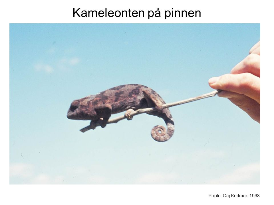 Kameleonten på pinnen Photo: Caj Kortman 1968