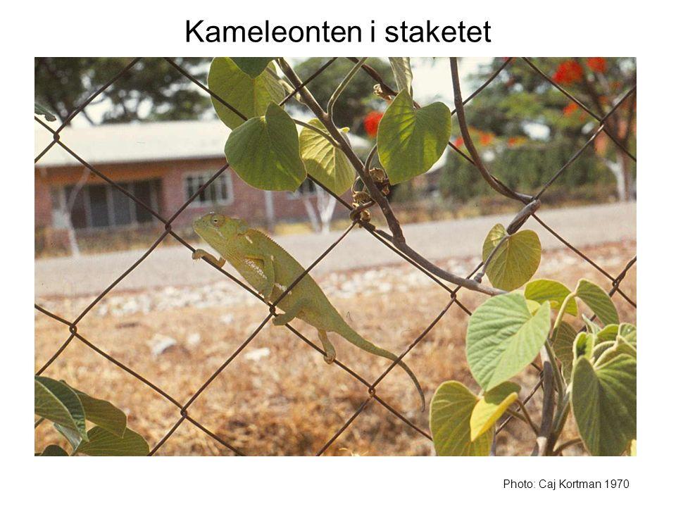 Kameleonten i staketet