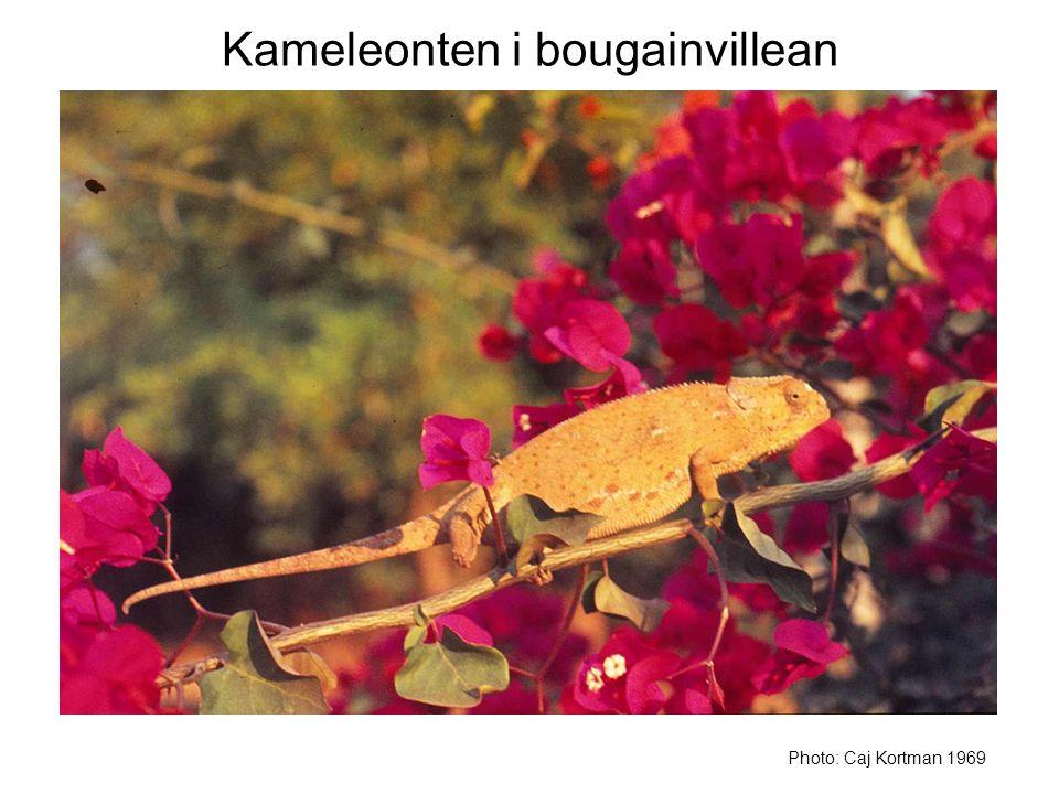 Kameleonten i bougainvillean