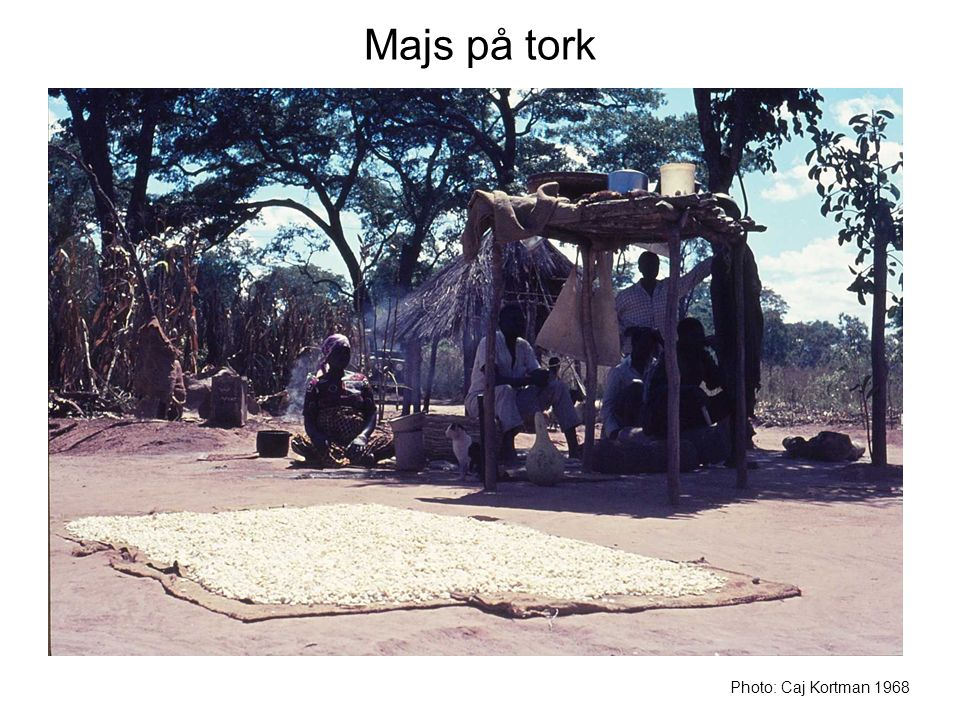 Majs på tork Photo: Caj Kortman 1968