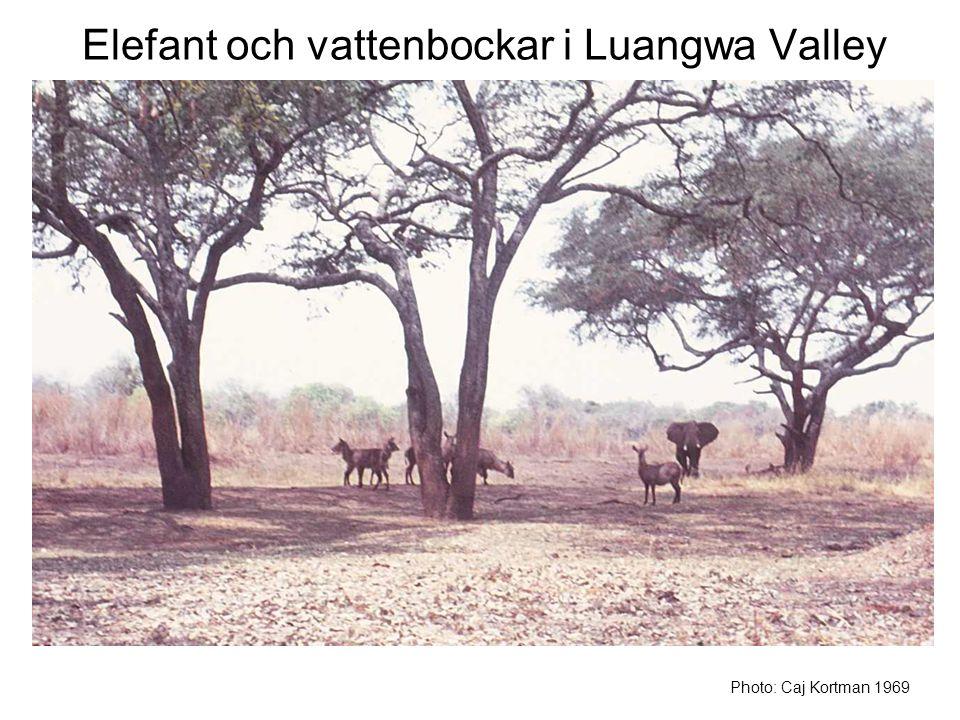 Elefant och vattenbockar i Luangwa Valley