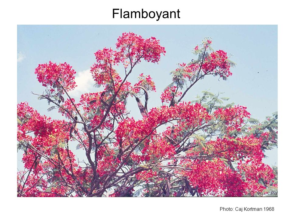 Flamboyant Photo: Caj Kortman 1968