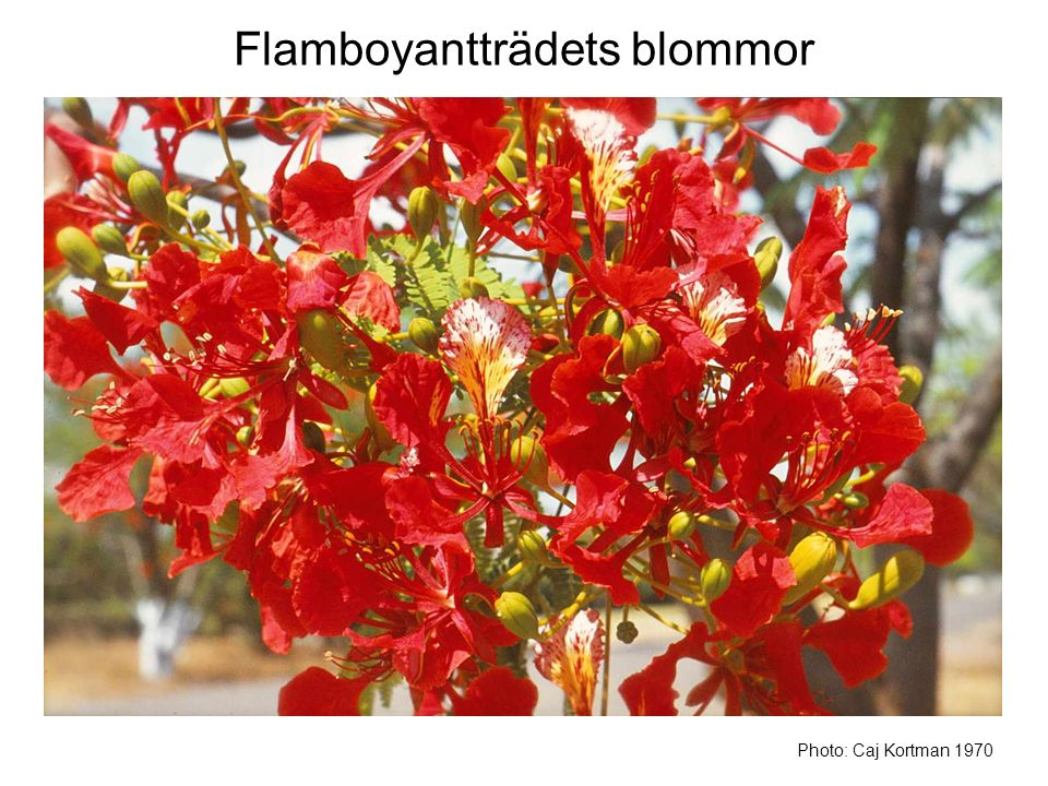 Flamboyantträdets blommor