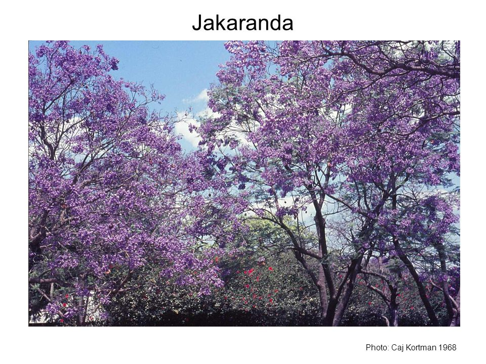 Jakaranda Photo: Caj Kortman 1968