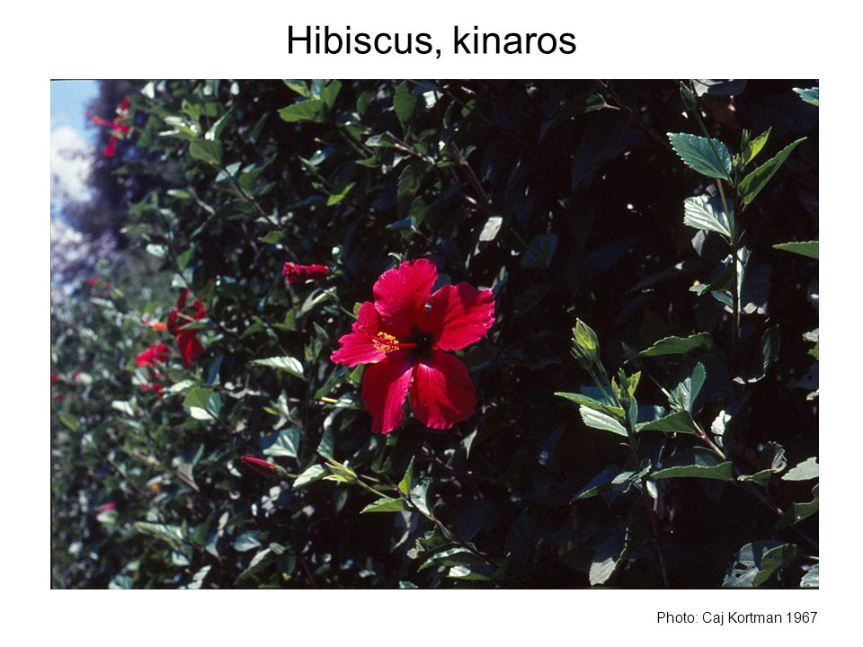 Hibiscus, kinaros Photo: Caj Kortman 1967