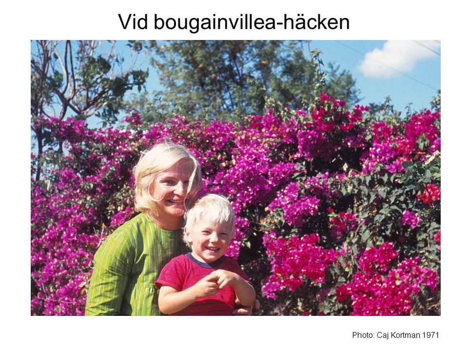 Vid bougainvillea-häcken