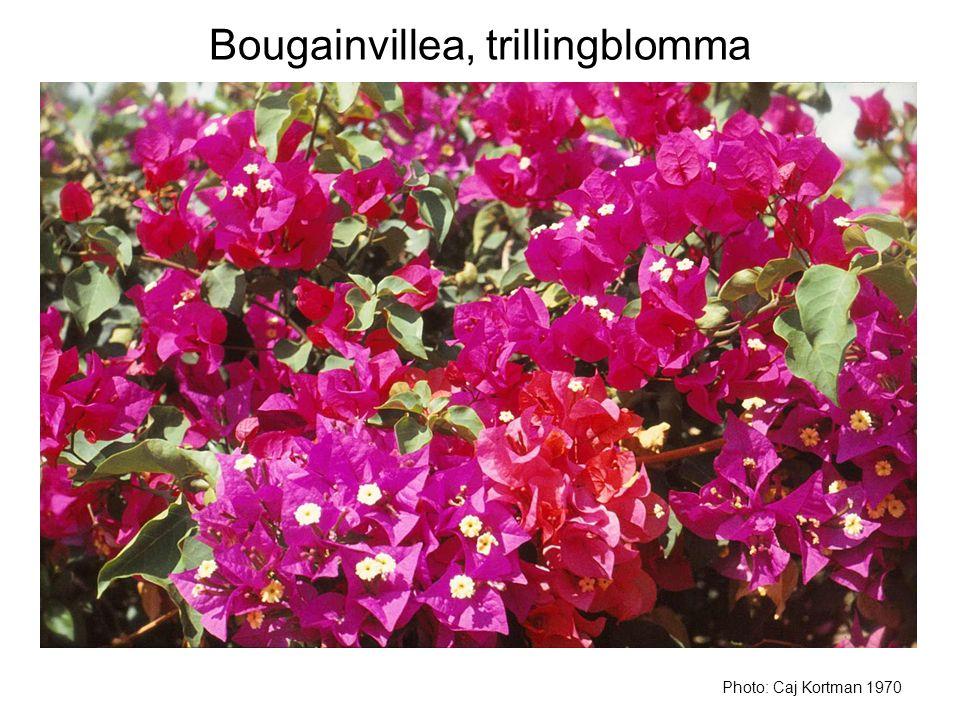 Bougainvillea, trillingblomma