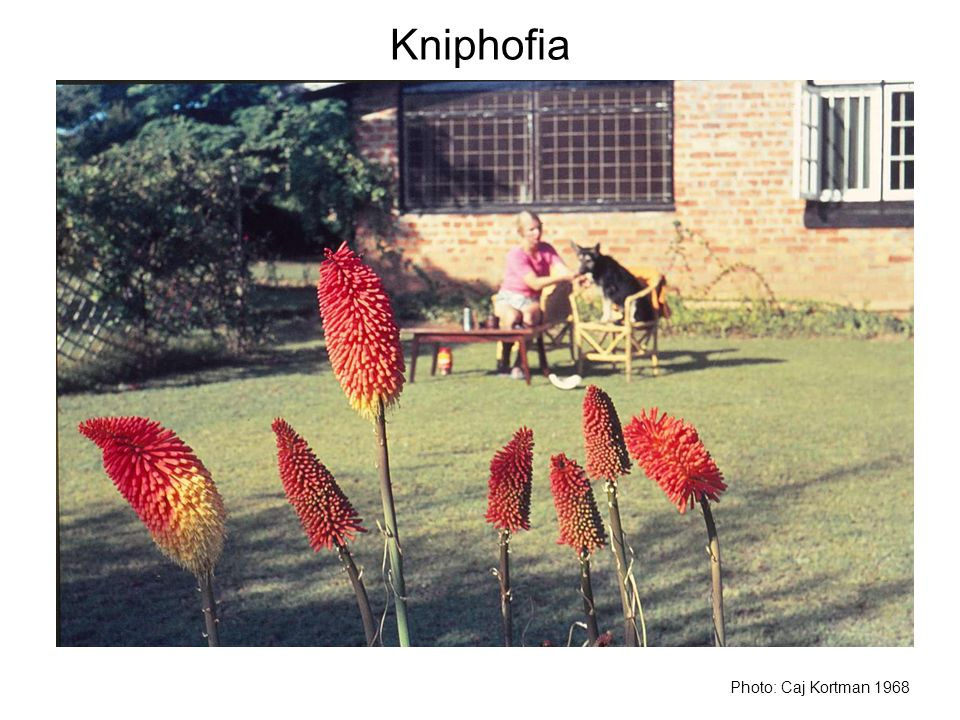 Kniphofia Photo: Caj Kortman 1968
