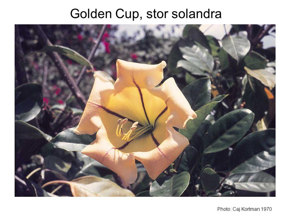 Golden Cup, stor solandra