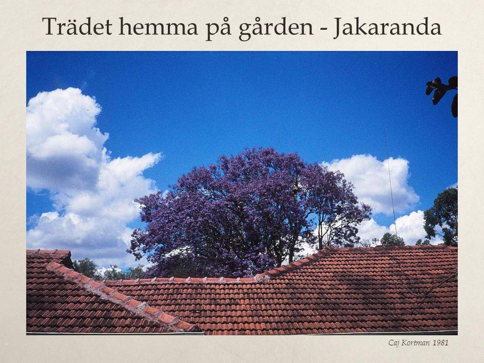 Trädet hemma på gården - Jakaranda