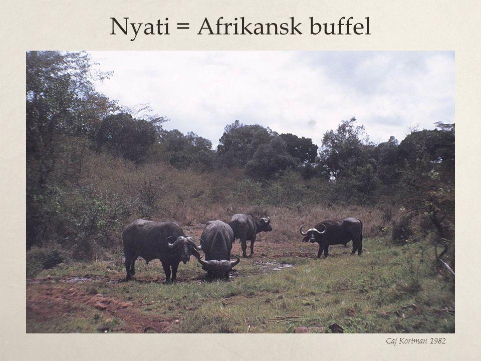 Nyati = Afrikansk buffel